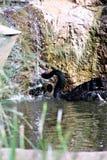 Cisne negro en el parque zoológico de Phoenix en Phoenix, Arizona en los Estados Unidos foto de archivo