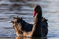 Cisne negro en el sol de igualación foto de archivo