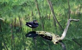 Cisne negro en la charca Foto de archivo libre de regalías