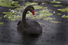 Cisne negro en la lluvia Somerset Dam Fotos de archivo