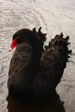 Cisne negro hermoso (atratus del Cygnus) Foto de archivo
