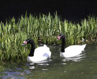 cisne Negro-necked Imágenes de archivo libres de regalías