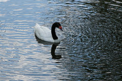 cisne Negro-necked Fotos de archivo