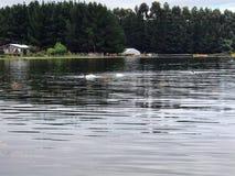 cisne Negro-necked imagenes de archivo