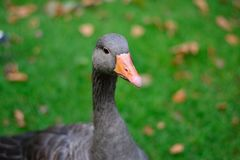Cisne negro foto de archivo libre de regalías