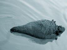 Cisne negro que busca para el alimento Fotografía de archivo libre de regalías