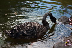 Cisne negro que flota en el agua Foto de archivo libre de regalías