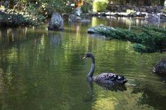Cisne negro que flota en el agua Foto de archivo