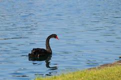 Cisne negro solitario Imagen de archivo libre de regalías