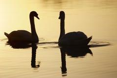 Cisne no alvorecer Fotografia de Stock Royalty Free