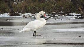 Cisne no gelo Imagens de Stock