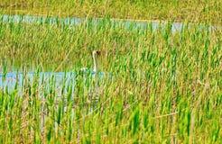 Cisne no habitat natural Foto de Stock Royalty Free