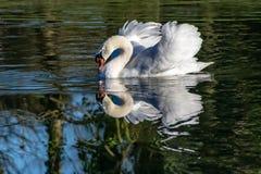 Cisne no inverno com penas estendidos e na reflexão na água clara imagens de stock royalty free