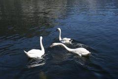 Cisne no lago Fotografia de Stock
