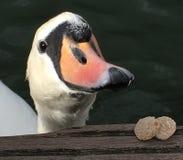 Cisne no lago Foto de Stock Royalty Free
