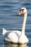 Cisne no lago Imagens de Stock Royalty Free