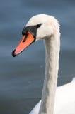 Cisne no lago imagens de stock
