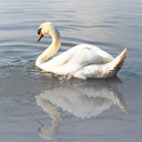 Cisne no lago Fotos de Stock Royalty Free