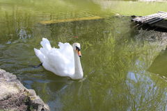 Cisne no lago Foto de Stock Royalty Free