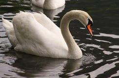 Cisne no lago Imagem de Stock