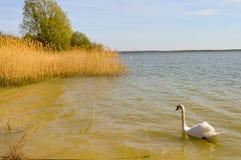 Cisne no lago do madine Foto de Stock