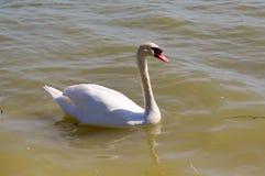 Cisne no lago do madine Foto de Stock Royalty Free
