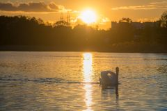 Cisne no lago do por do sol fotografia de stock royalty free