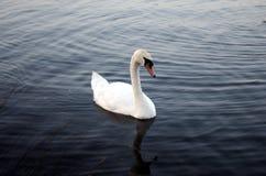 Cisne no lago Willen Imagem de Stock Royalty Free