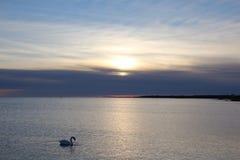 Cisne no mar Fotografia de Stock