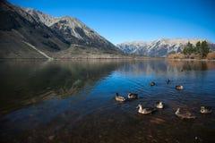 Cisne no monte da montanha do lago imagem de stock royalty free