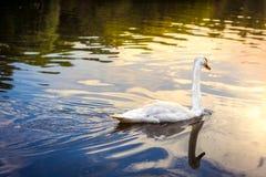 Cisne no nascer do sol Imagens de Stock