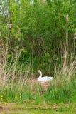 Cisne no ninho Imagens de Stock
