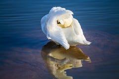 Cisne no oceano azul Imagens de Stock