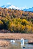Cisne no pântano dos oleiro Foto de Stock