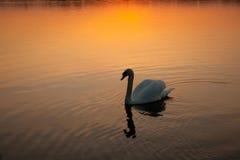 Cisne no por do sol Fotografia de Stock Royalty Free