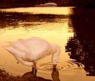 Cisne no por do sol Fotos de Stock Royalty Free