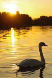 Cisne no por do sol Fotografia de Stock Royalty Free