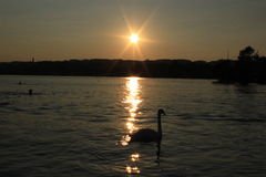 Cisne no por do sol Imagem de Stock Royalty Free