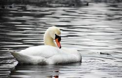 Cisne no retrato do lago Imagem de Stock