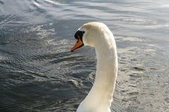 Cisne no rio imagem de stock