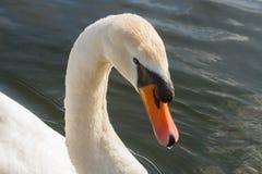 Cisne no rio fotografia de stock