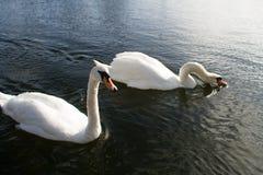 Cisne no rio fotos de stock