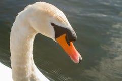 Cisne no rio imagens de stock