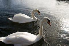 Cisne no rio imagem de stock royalty free