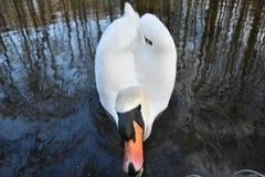 Cisne no rio 03 de Pilica foto de stock