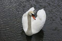 Cisne no rio de Vltava Foto de Stock