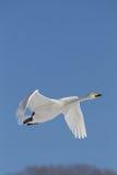 Cisne no vôo Fotografia de Stock Royalty Free