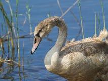 Cisne nova fotos de stock