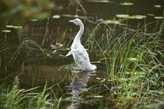 A cisne nova no banco do lago fotografia de stock royalty free