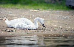 A cisne nova no banco do lago imagens de stock royalty free